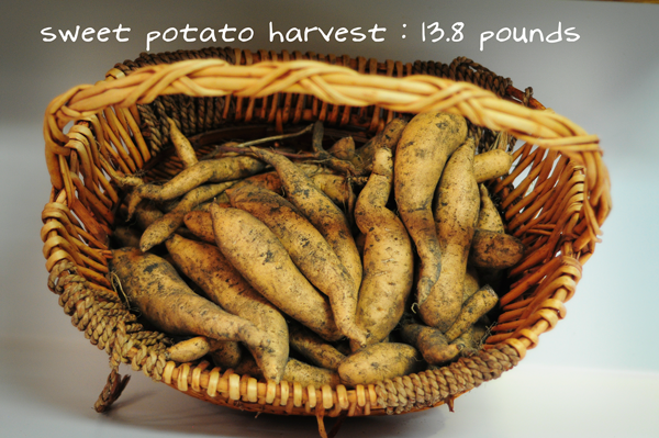 081813--a-sweet-potato-harvest-raised-urban-gardens-dot-com-pic-1
