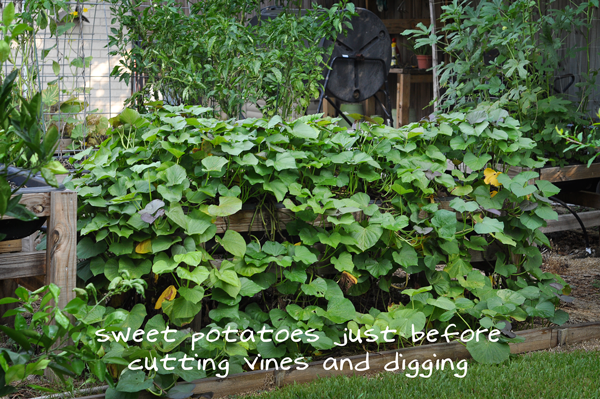 081813-sweet-potato-harvest-raised-urban-gardens-dot-com-pic-1