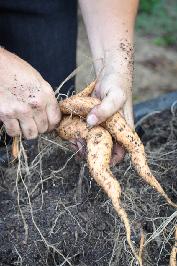081813-sweet-potato-harvest-raised-urban-gardens-dot-com-pic-11