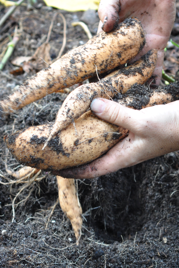 081813-sweet-potato-harvest-raised-urban-gardens-dot-com-pic-12
