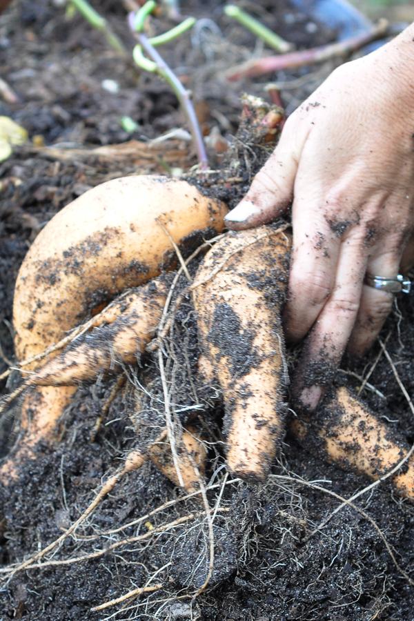 081813-sweet-potato-harvest-raised-urban-gardens-dot-com-pic-13