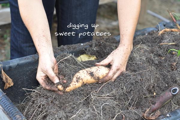 081813-sweet-potato-harvest-raised-urban-gardens-dot-com-pic-15