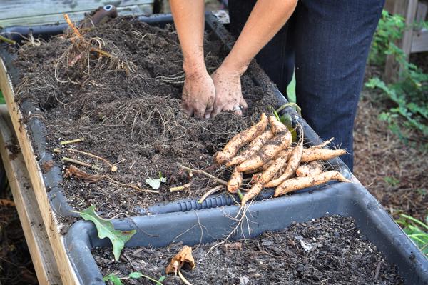 081813-sweet-potato-harvest-raised-urban-gardens-dot-com-pic-17
