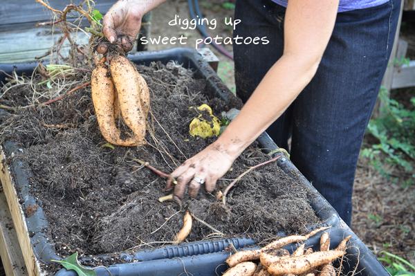 081813-sweet-potato-harvest-raised-urban-gardens-dot-com-pic-18