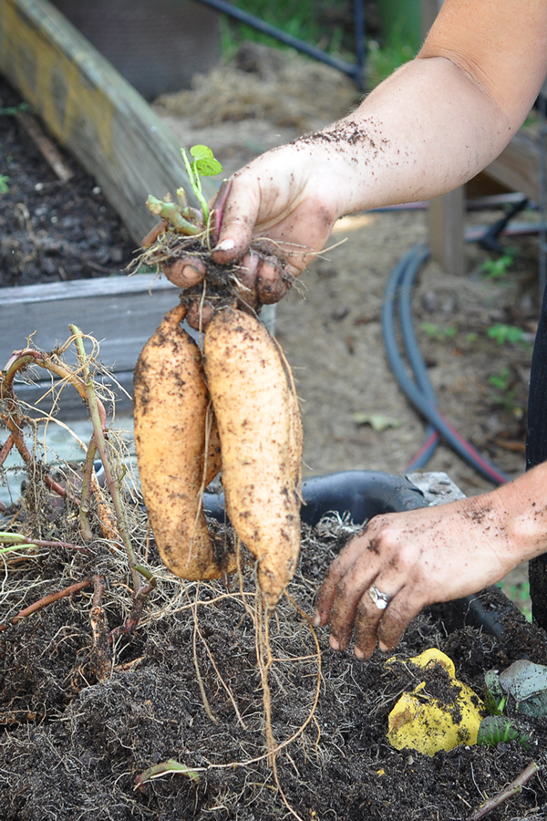 081813-sweet-potato-harvest-raised-urban-gardens-dot-com-pic-19