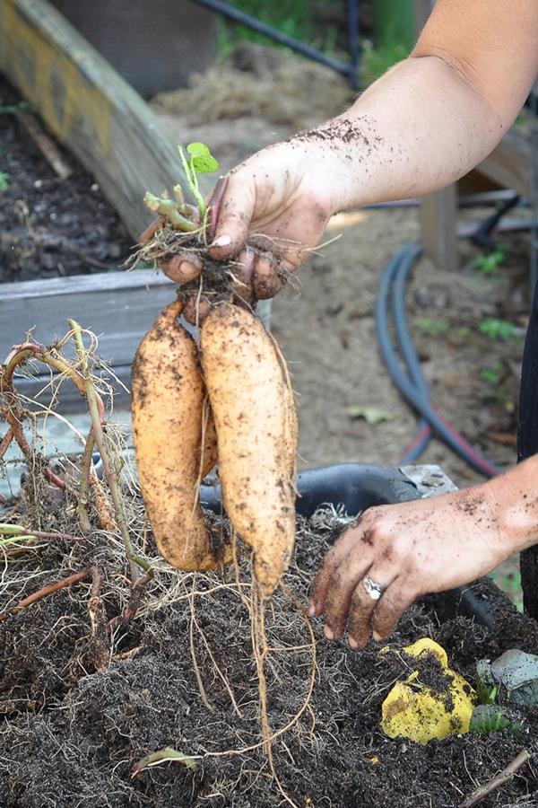 081813-sweet-potato-harvest-raised-urban-gardens-dot-com-pic-19