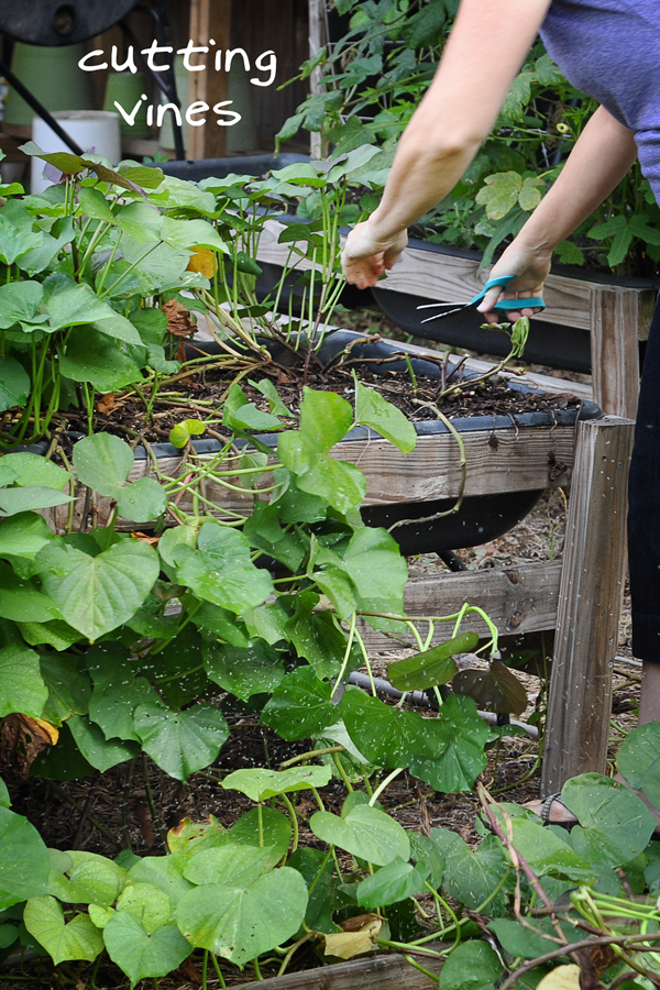 081813-sweet-potato-harvest-raised-urban-gardens-dot-com-pic-2