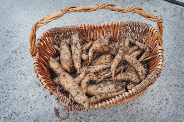 081813-sweet-potato-harvest-raised-urban-gardens-dot-com-pic-21