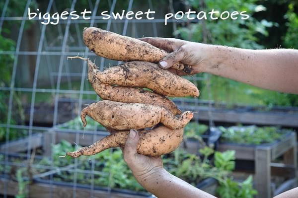 081813-sweet-potato-harvest-raised-urban-gardens-dot-com-pic-22