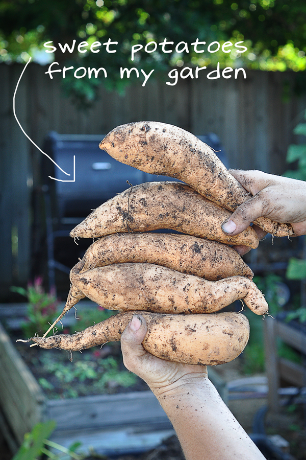 081813-sweet-potato-harvest-raised-urban-gardens-dot-com-pic-23