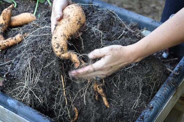 081813-sweet-potato-harvest-raised-urban-gardens-dot-com-pic-8