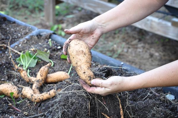 081813-sweet-potato-harvest-raised-urban-gardens-dot-com-pic-9