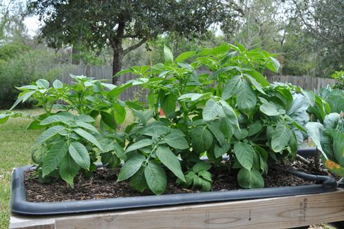 1-how-to-garden-raised-beds-gardening-urban-gardening-42
