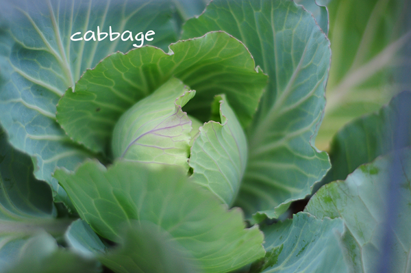 a-cabbage-3