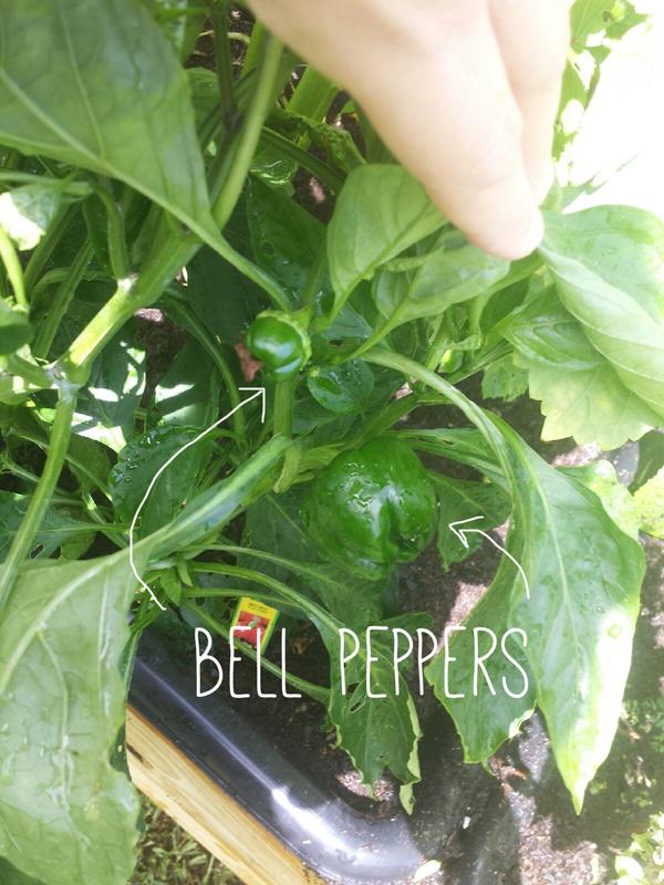 a-girls-garden-bell-peppers-raised-urban-gardens