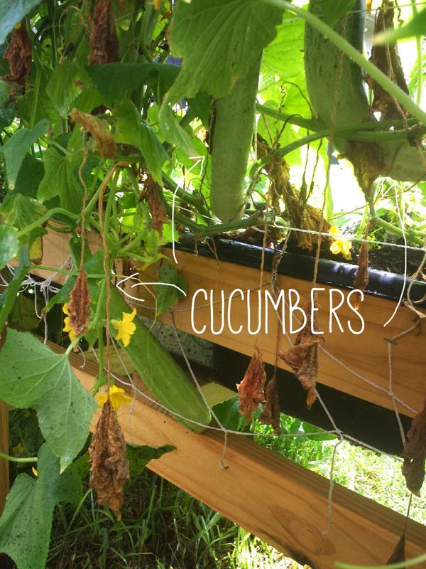 a-girls-garden-raised-urban-gardens-how-to-garden-cucumbers