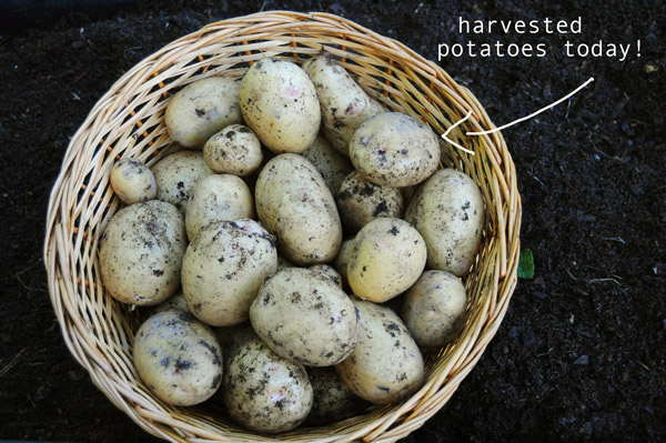 a-harvested-potatoes-raised-urban-gardening-050713