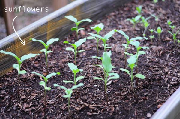 a-how-to-garden-sweet-potatoes-my-raised-urban-garden-050913-1