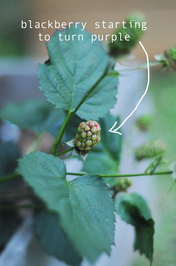 a-how-to-garden-sweet-potatoes-my-raised-urban-garden-050913-13
