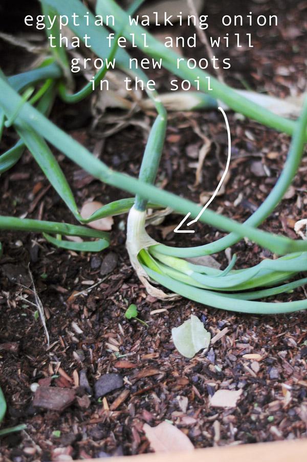 a-how-to-garden-sweet-potatoes-my-raised-urban-garden-050913-16