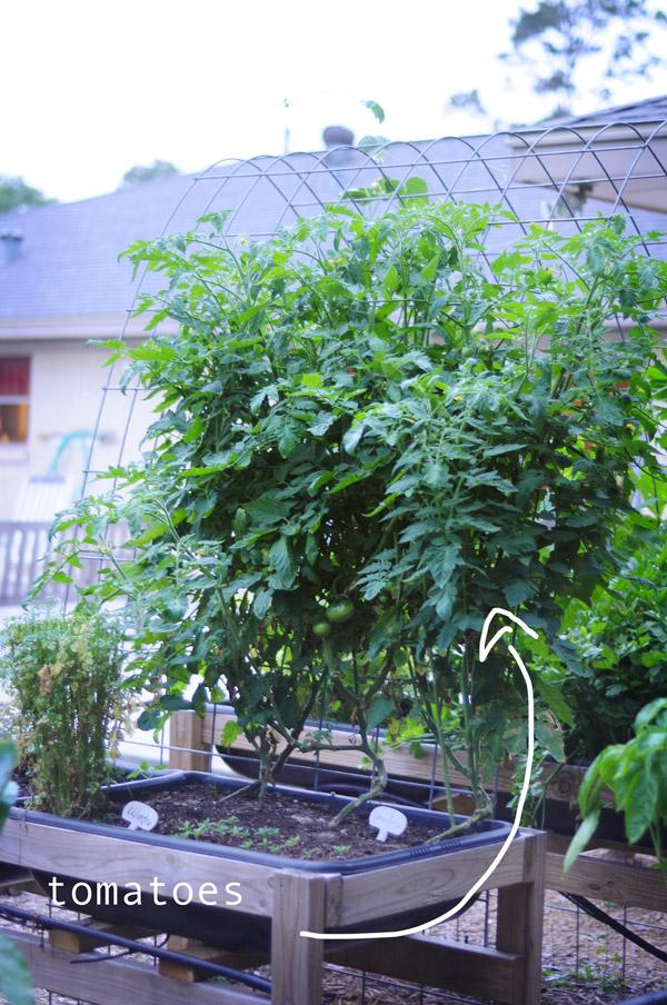 a-how-to-garden-sweet-potatoes-my-raised-urban-garden-050913-19