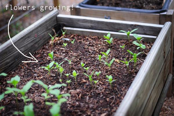 a-how-to-garden-sweet-potatoes-my-raised-urban-garden-050913-2