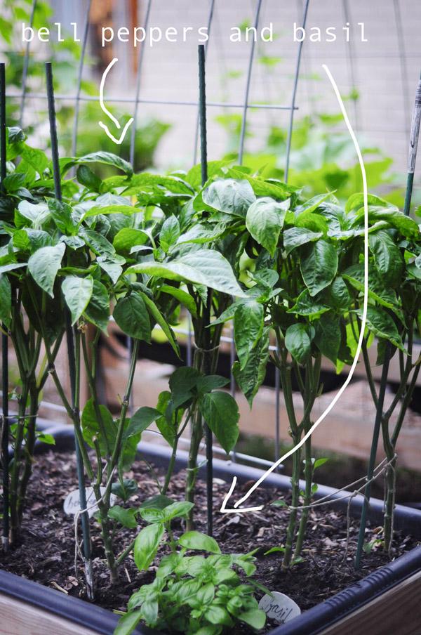 a-how-to-garden-sweet-potatoes-my-raised-urban-garden-050913-20
