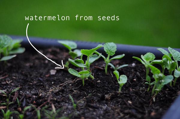 a-how-to-garden-sweet-potatoes-my-raised-urban-garden-050913-26