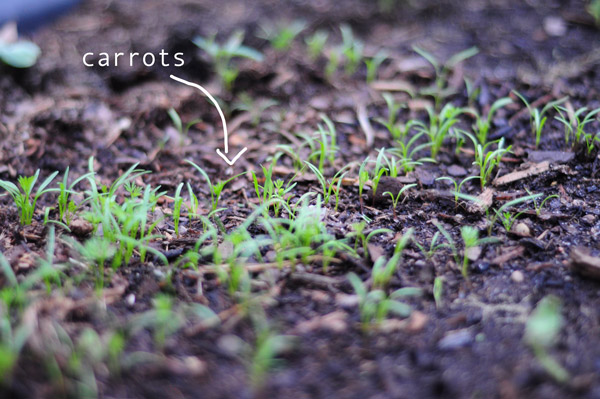 a-how-to-garden-sweet-potatoes-my-raised-urban-garden-050913-27