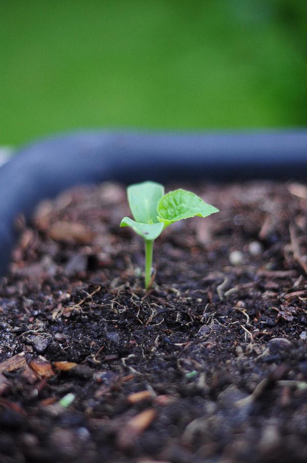 a-how-to-garden-sweet-potatoes-my-raised-urban-garden-050913-28
