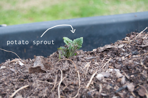 my first potato sprout! I didn't position the sprout on the potato up or down, I just planted it and it found it's way out of the soil.