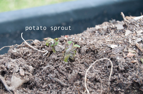 another sprout. These came up 3 weeks after planting.
