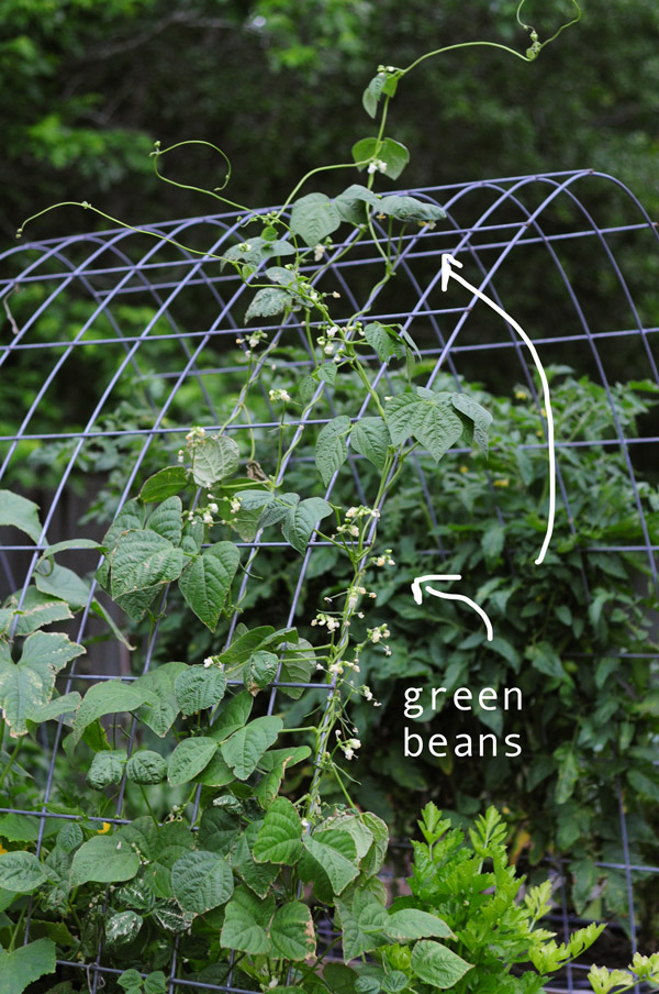 Green Beans Raised Urban Gardens