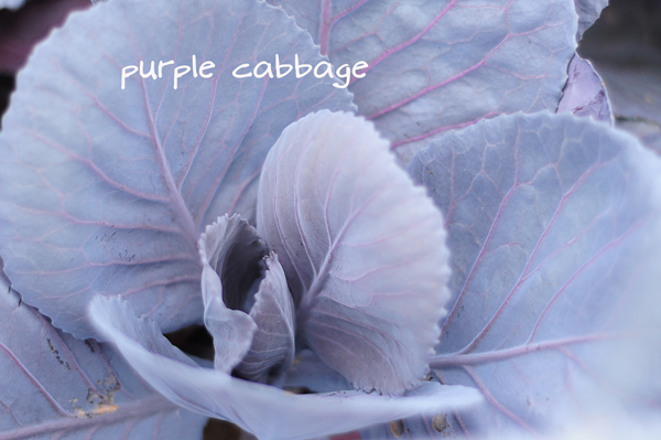 apurple-cabbage