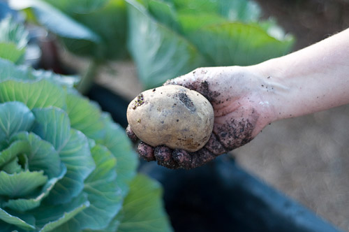 planting a yukon gold potato