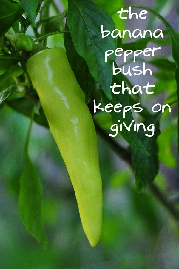 banana-pepper-bush