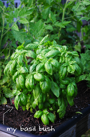 basil-bush-raised-urban-garden