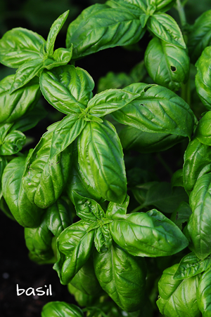 basil-raised-urban-gardens