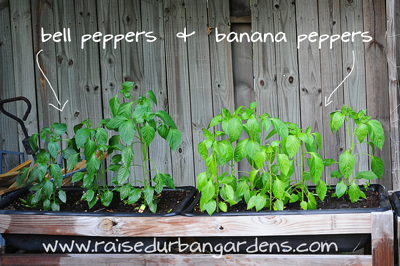 bell-and-banana-peppers