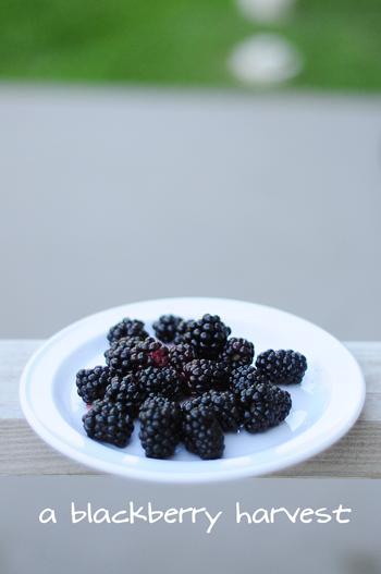 blackberryharvest3
