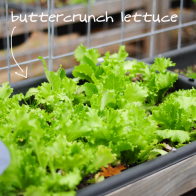 buttercrunch-lettuce-raised-urban-gardens