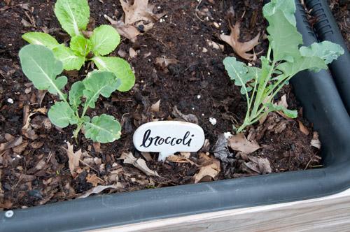 my broccoli