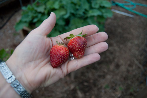 I didn't spend much time this week in my garden because it rained so much. I found these two strawberries on Saturday and ate them right away. so sweet and juicy!