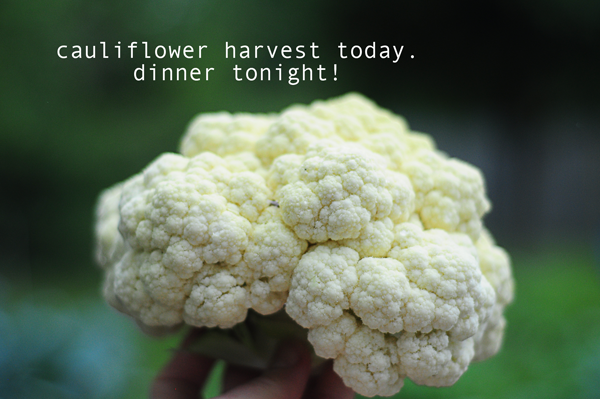 cauliflower-how-to-grow-food-to-eat-gardening-101-041613