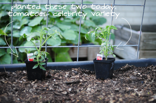 celebrity-tomatoes-planted-today