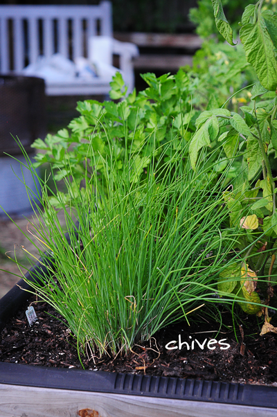 chives-in-raised-urban-garden