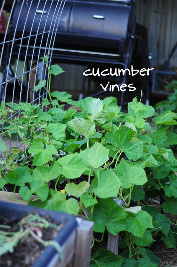 cucumber-vines