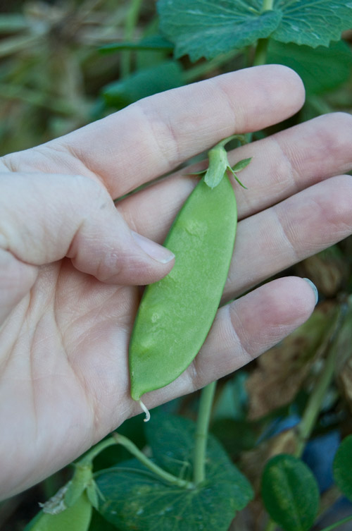pea pod - this is the non- shelling type