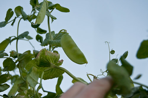 pea pods hanging high on the trellis