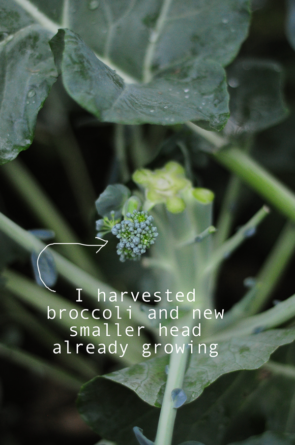 harvested-broccoli-how-to-garden-0141813